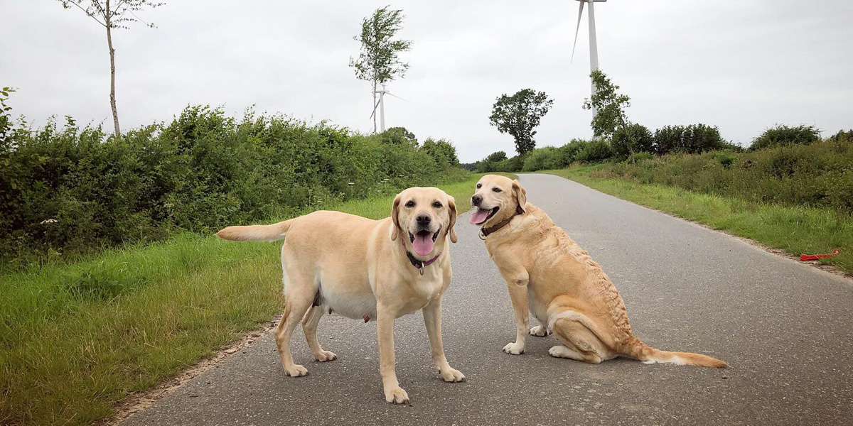 Two yellow labs, Labrador Retriever, pregnant dog