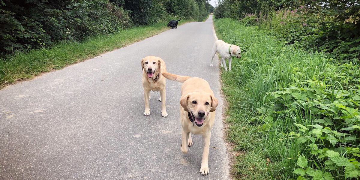 Yellow labs on dog walk