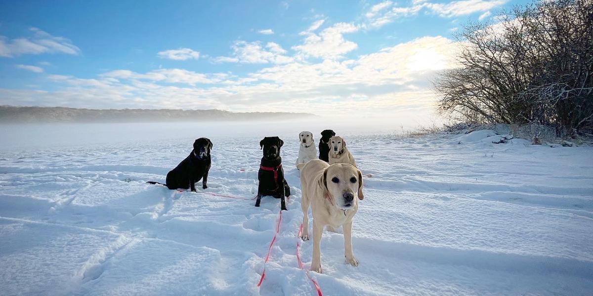 Labrador Retriever Dog Schnee Snow